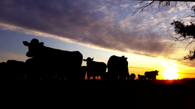 silhouette of cows with sunset in the fields