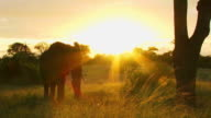 WS Silhouette of Elephant bull feeding in late afternoon sunlight  / Kruger National Park, Mpumalanga, South Africa