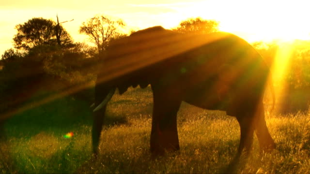 Silhouette of Elephant bull feeding in the late afternoon sunlight/ Kruger National Park/ South Africa