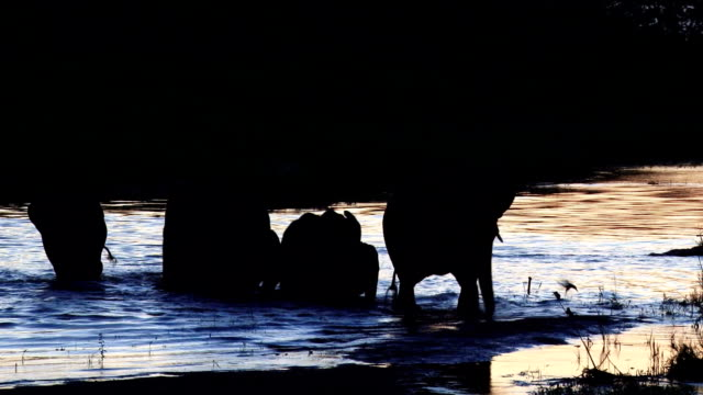 Silhouette of elephants wading through the Sand River at dusk/ Kruger National Park/ South Africa