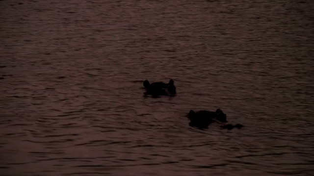 MS Silhouette of hippos in water at dusk / Pilanesberg National Park/ North West Province/ South Africa