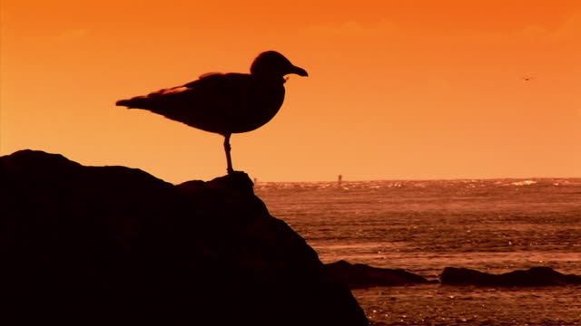 MS Silhouette of seagull taking off from rock at Pacific Ocean at sunset / Newport, Oregon, USA