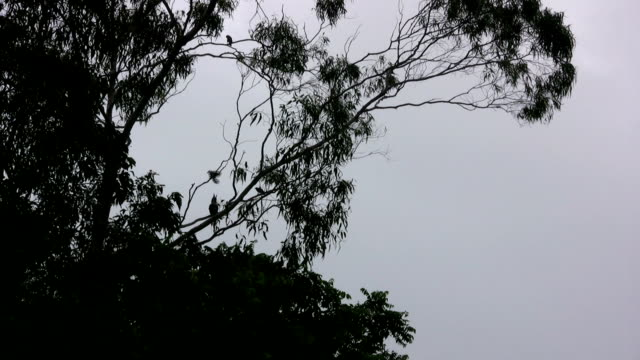 Umrisse Australische Birds Flying in Gum Tree