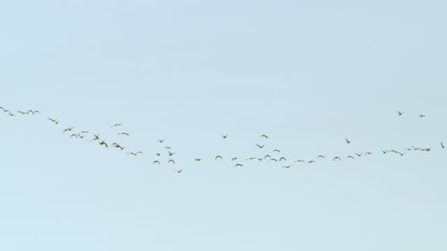 Silhouetted flock of ibises fly through sky.