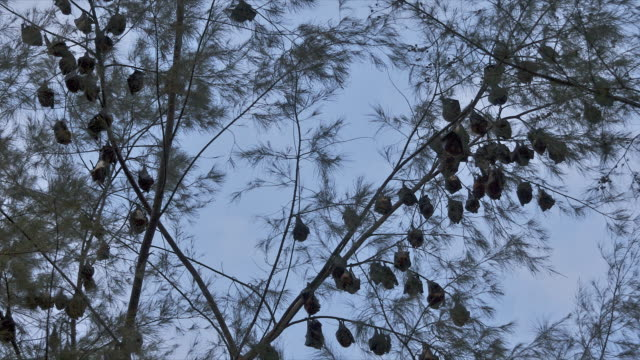 T/L silhouetted fruit bats hanging in tree, Pulau Tioman