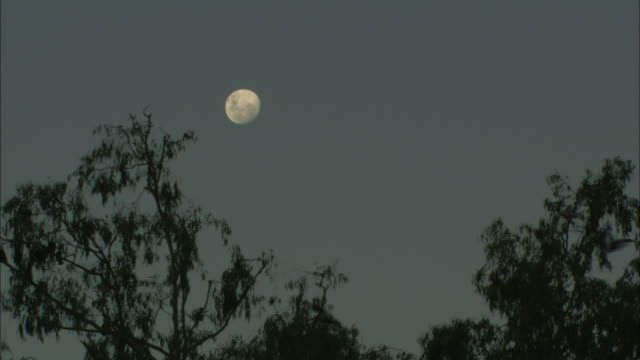 MS, Silhouettes of  Flying Foxes against sky with full moon at dusk, Australia