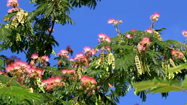 Silk tree; Albizia julibrissin