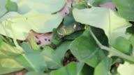 Silk worm eating leaf