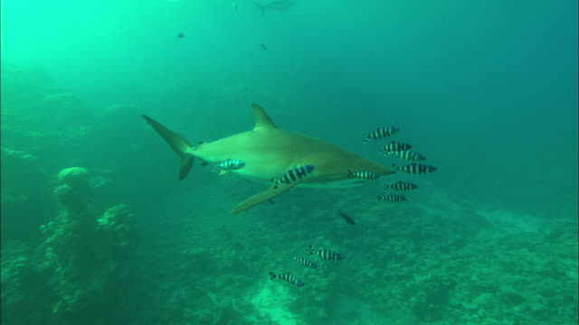 Silky sharks with pilot fish, Saudi Arabia, Gulf