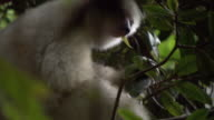 Silky sifaka (Propithecus candidus) lemur eats leaves in forest, Madagascar