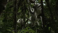 Silky sifaka (Propithecus candidus) lemur hangs upside down in forest, Madagascar