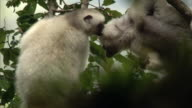 Silky sifaka (Propithecus candidus) lemurs groom in forest, Madagascar