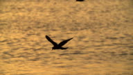 Sillhouette of Seabirds Flying Over Sunlit Water, high speed