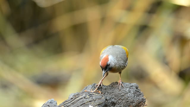 Silver eared Laughingthrush, Bird find worm in branch