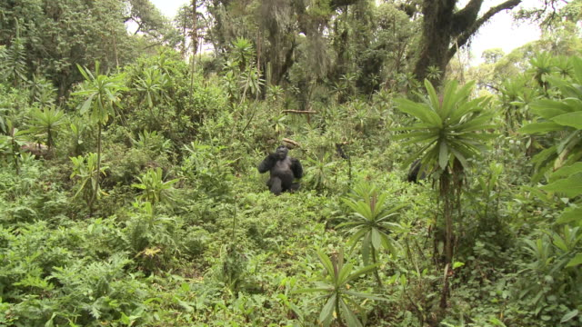 A silverback gorilla beats its chest. Available in HD.