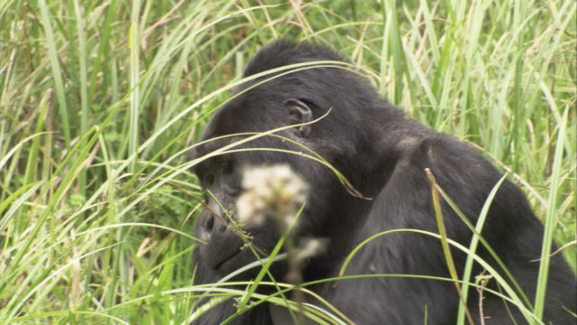 A silverback gorilla eats foliage in a clearing. Available in HD.