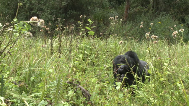 A silverback gorilla feeds on foliage in a clearing of the Volcanoes National Park of Rwanda. Available in HD.
