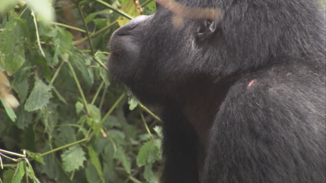 A silverback gorilla observes the foliage. Available in HD.