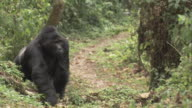 A silverback gorilla walks along a forest path. Available in HD.