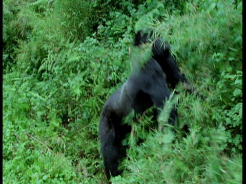 Silverback Mountain Gorilla beats chest then attacks bush and walks off