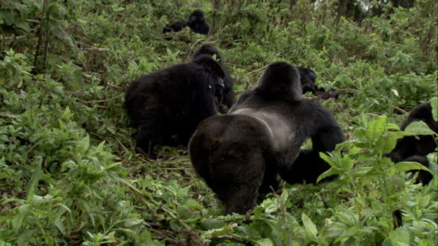 A silverback mountain gorilla charges through resting group of gorillas then leads them away through foliage. Available in HD.