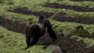 A silverback Mountain gorilla guards part of his troop while they forage in a farm field. Available in HD.