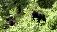 A silverback mountain gorilla joins a troop in a clearing. Available in HD.