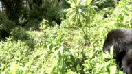A silverback mountain gorilla looks to the left as he enters a clearing. Available in HD.