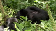 A silverback mountain gorilla snoozes as another gorilla rolls in. Available in HD.