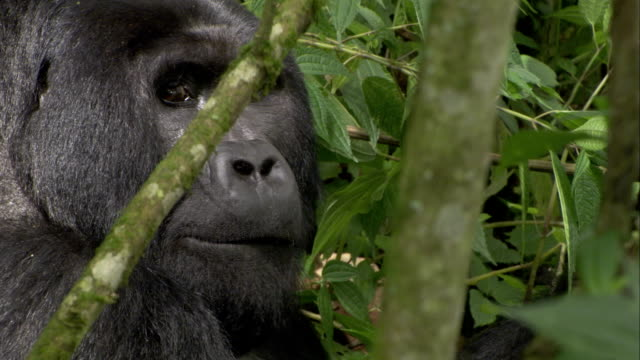 A silverback mountain gorilla turns as he eats leaves. Available in HD.