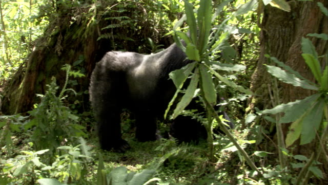 A silverback mountain gorilla walks toward another gorilla who is eating leaves. Available in HD.
