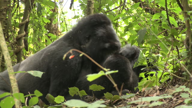 A silverback plays with two young gorillas. Available in HD.