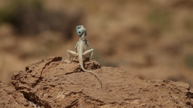Sinai agama (Pseudotrapelus sinaitus) with blue head, on a rock in the negev desert, running away