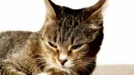 Singapur-Katze ruht