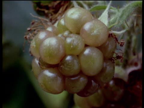 Single blackberry ripens, UK