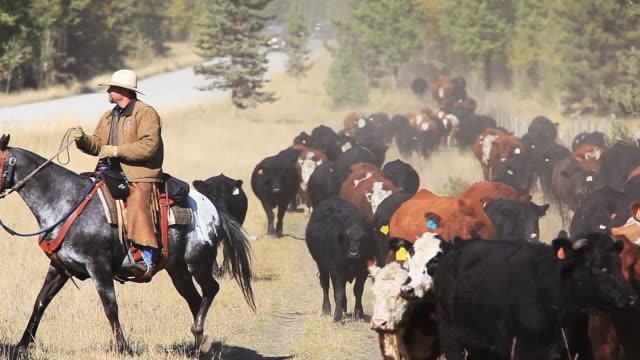 Single cowboy herding cattle drive