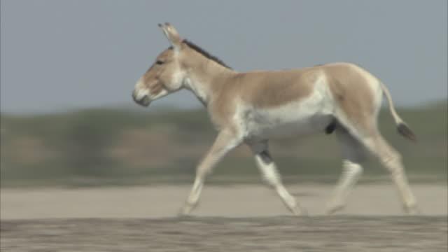 A single Indian Wild Ass running through the desert