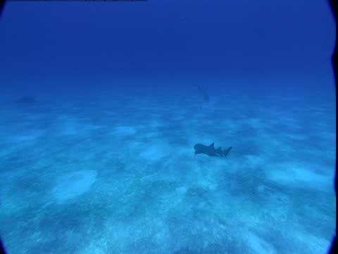 A single nurse shark swims near the ocean floor.