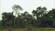 WS Single tree being cut and falling in jungle / Cuzco Region, Peru