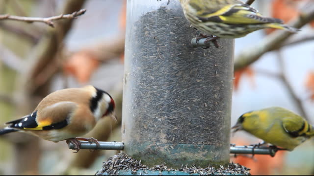 Siskin; Carduelis spinus and Goldfinch feeding on niger seed in a garden in Ambleside, Lake District, UK.