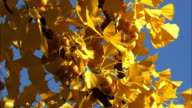 site of Hokkaido university  ginkgo  autumn leaves closeup