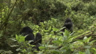 A siverback gorilla beats his chest in front of other gorillas in the Volcanoes National Park of Rwanda. Available in HD.