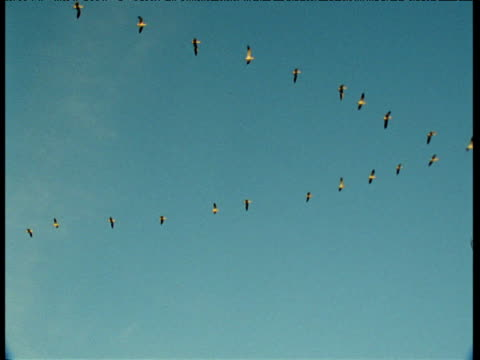 Skein of snow geese fly in formation across blue sky, New Mexico