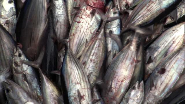Skipjack tuna (Katsuwonus pelamis) on fishing boat, Solomon Islands