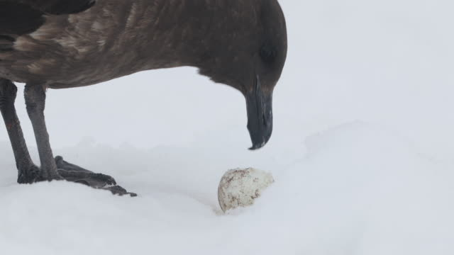 Skua eating Penguin Egg on snow