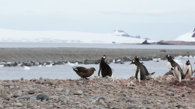 Skua grabs a Gentoo Penguin chick from its nest