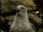 CU Skua gull squawking, Antarctica