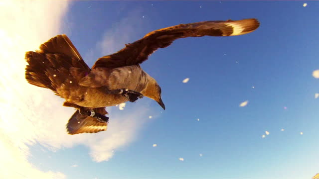 LA CU Skua hops and flaps around in front of lens of remote camera