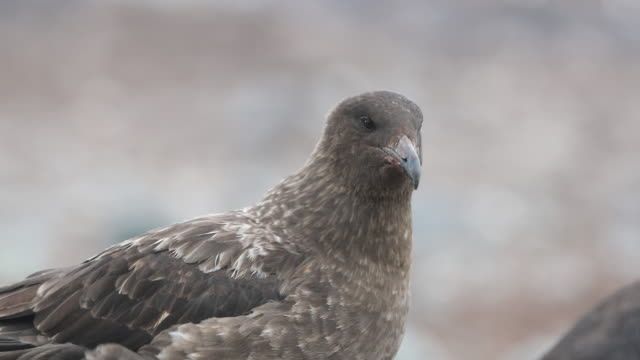 Skua on the attack in a Gentoo Penguin rookery