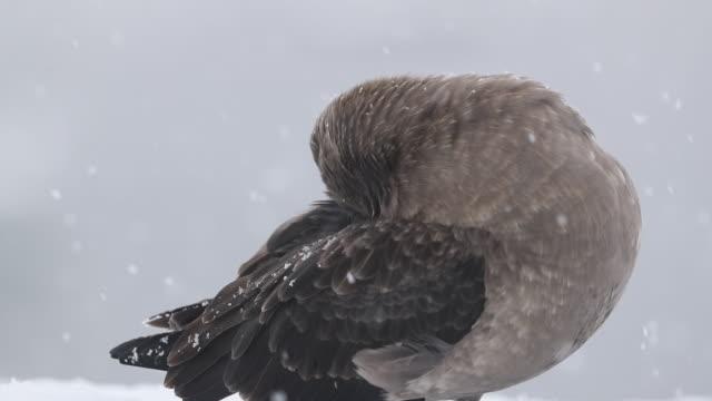 Skua preening feathers in falling snow in Antarctica, slow motion